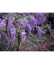 glicinia (Wisteria sinensis).(010)