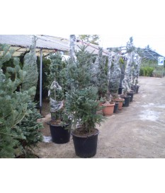FIR-ABIES  PINSAPO GLAUCA