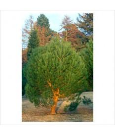 ΚΟΥΚΟΥΝΑΡΙΑ-Pinus pinea