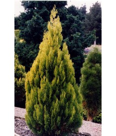 Thuja CONICAL GOLD
