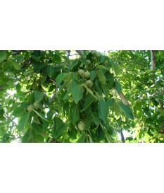 WALNUT vaccinated Chandler-Franquette(Ύψος 1.50-200),free rooted