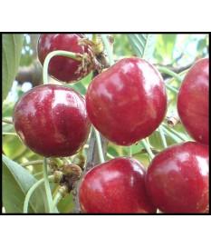 Κερασιά (Prunus avium, CHERRY TREE) γυμνοριζη