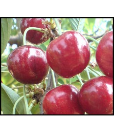 Prunus avium, CHERRY TREE,free rooted