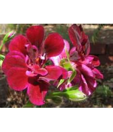 ΜΑΣΤΙΧΙΑ (ΒΑΜΒΑΚΟΥΛΑ) κρεμαστα φυτα