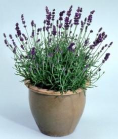 ΛΕΒΑΝΤΑ (Lavandula angustifolia,LAVENDER) ΣΕ ΓΛΑΣΤΡΑ ΚΑΛΛΙΕΡΓΕΙΑ