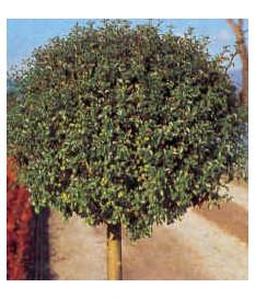 LIGUSTRUM JAPONICUM TREE
