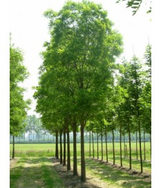 FOREST TREES HEIGHT 4.00M - DIAMETER BODY 6-7 ΕΚ