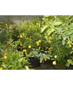 λεμονιά νάνα