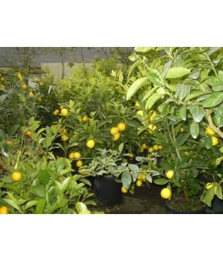 lemon tree nana