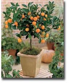 tangerines nana