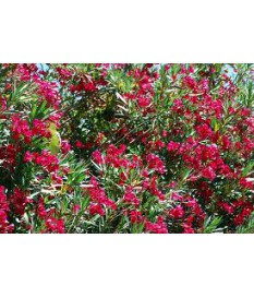 Nerium oleander tree,height 2.50 m