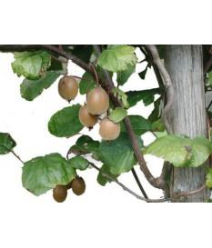 kiwifruit - Chinese gooseberry