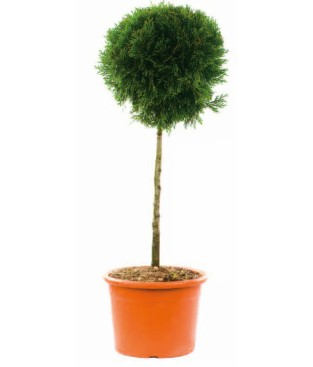 Coniferous trees SHAPED WITH A BALL -HEIGHT 1.50-1.70M -DIAMETER OF BALL 80-1.00 M