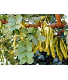 Ceratonia siliqua- carob tree