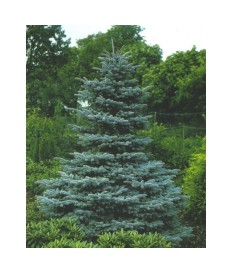 FIR BLUE (P. PUNGENS HOOPSII)