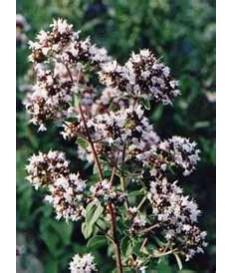 ΡΙΓΑΝΗ (, Origanum vulgare)ΚΑΛΛΙΕΡΓΕΙΑ ΙΔΙΟΤΗΤΕΣ