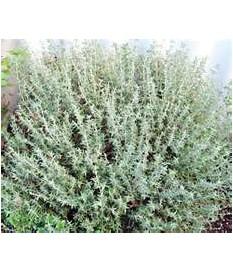 ΘΥΜΑΡΙ (Thymus vulgaris,thyme)ΣΕ ΓΛΑΣΤΡΑ