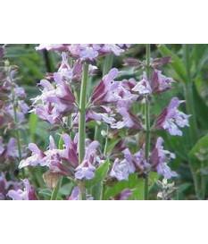 ΦΑΣΚΟΜΗΛΟ(Salvia officinalis,sage )ΚΑΛΛΙΕΡΓΕΙΑ ΙΔΙΟΤΗΤΕΣ