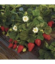 ΦΡΑΟΥΛΑ,Fragaria,strawberry, ΓΙΑ ΜΕΓΑΛΗ ΠΟΣΟΤΗΤΑ-ΚΑΛΛΙΕΡΓΕΙΑ TIMH