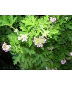 ΑΡΜΠΑΡΟΡΙΖΑ (Pelargonium graveolens)ΣΕ ΓΛΑΣΤΡΑ ΙΔΙΟΤΗΤΕΣ