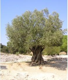 Ελιά( Olea,olive tree)