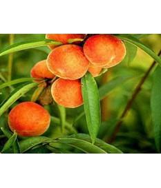Ροδακινιά(Prunus persica,peach) γυμνοριζη τιμη ποικιλιες