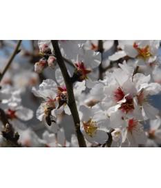 Αμυγδαλιά (Prunus amygdalus) (ALMOND) .ΦΙΡΑΝΙΕ ,ΤΕΞΑΣ .ΤΟΥΟΝΟ
