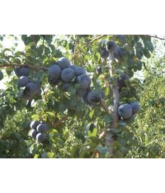 Δαμασκηνιά(Prunus,plum) σε γλαστρα τιμη ποικιλιες