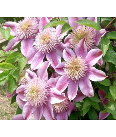 Clematis spp(005)