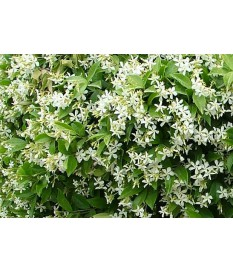Rynchospermum jasminoides(008)